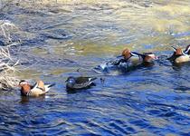 Řeku Svitavu v Adamově osídlil nový živočich