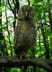 Mláďata puštíka obecného po opuštění hnízda zpravidla ještě nedovedou dobře létat